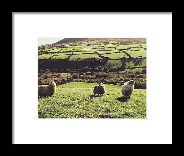 Pets Framed Print featuring the photograph Sheep Standing In Field by Thomas Peham / Eyeem