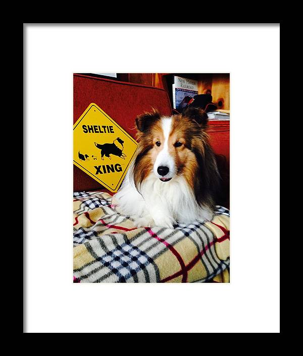 Sheltie Framed Print featuring the photograph Sheltie Crossing by Hayley Holzhacker