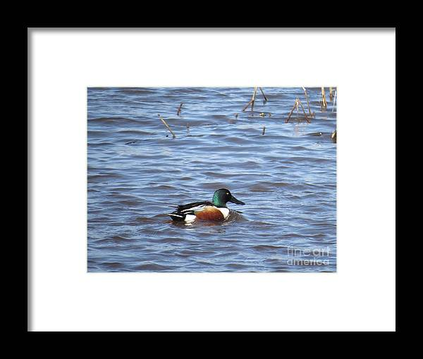 Nature Framed Print featuring the photograph Shoveler by Rrrose Pix