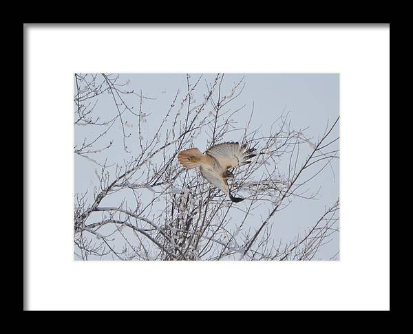 Red Tail Hawk Framed Print featuring the photograph Showing Off by Bonfire Photography