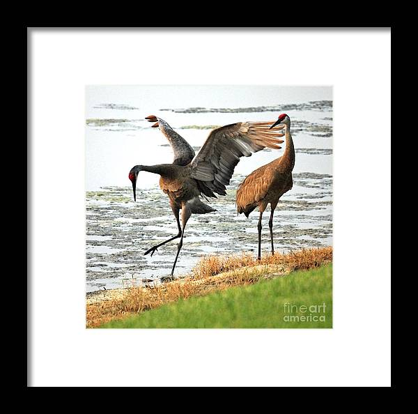 Sandhill Cranes Framed Print featuring the photograph Showoff by Carol Groenen