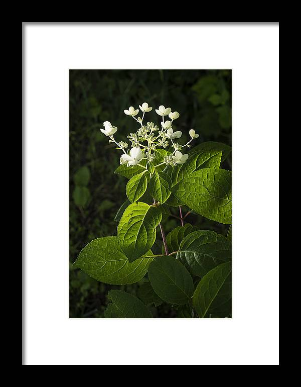 Plant Framed Print featuring the photograph Shrub With White Blossoms by Donald Erickson