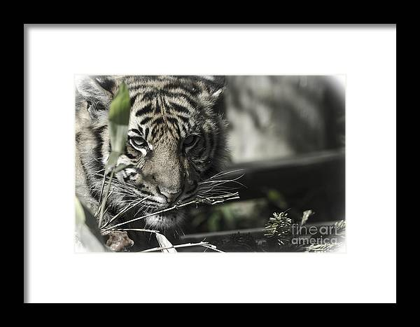 Tiger Framed Print featuring the photograph Shy Eyes by Darren Wilkes