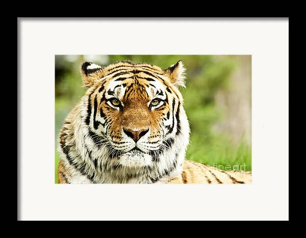 Siberian Framed Print featuring the photograph Siberian Tiger Beautiful Closeup by Boon Mee