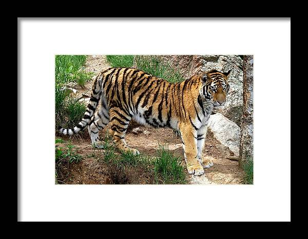 Colorado Zoo Framed Print featuring the photograph Siberian Tiger - Standing by Marilyn Burton