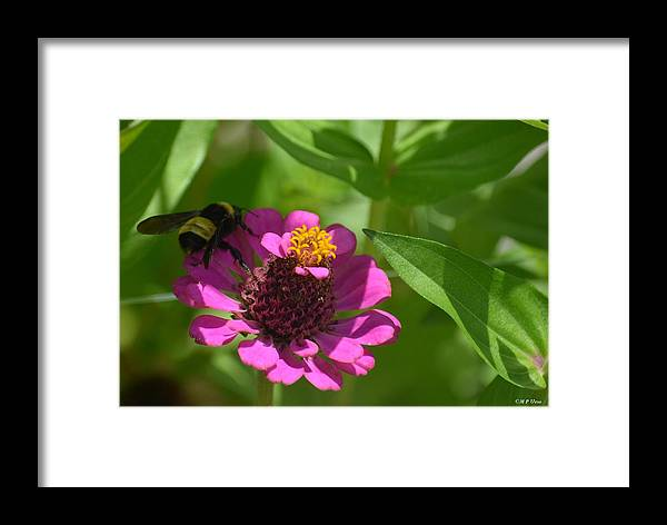 Side-saddled Bee Framed Print featuring the photograph Side-saddled Bee by Maria Urso