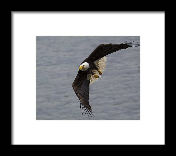 Bald Framed Print featuring the photograph Silent Hunter by Mike Taddeo