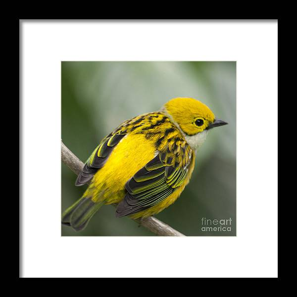 Tanager Framed Print featuring the photograph Silver-throated Tanager - Tangara icterocephala by Heiko Koehrer-Wagner