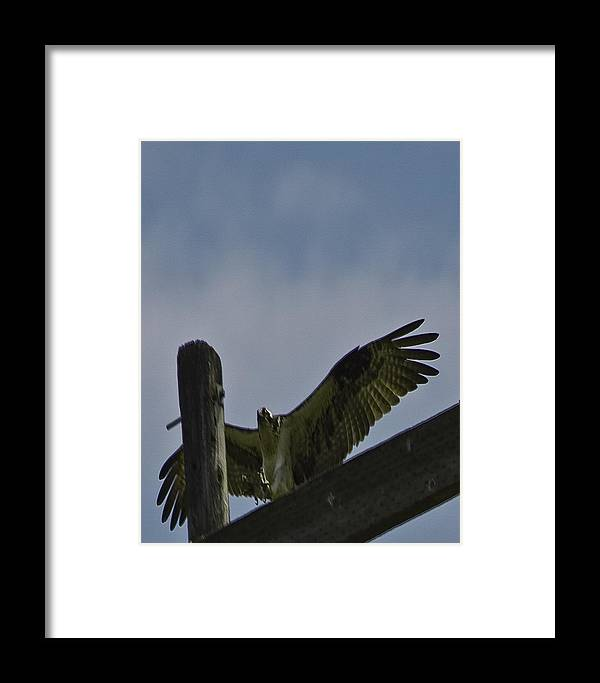 Birds Of Prey Framed Print featuring the photograph Silver Valley Ospery by Grover Woessner