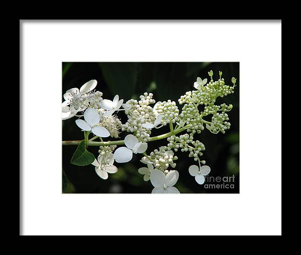 Hydrangea Framed Print featuring the photograph Simply by Amanda Barcon