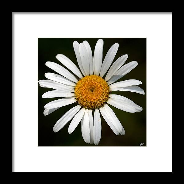 Daisy Framed Print featuring the photograph Simply White by Sandra Clark