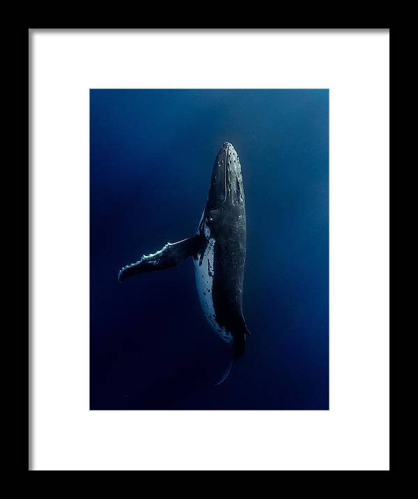 Whale Framed Print featuring the photograph Singing Humpback by Atelier8