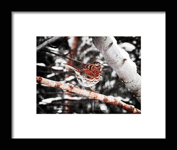 Song Sparrow Framed Print featuring the photograph Singing In The Snowfall by Zinvolle Art