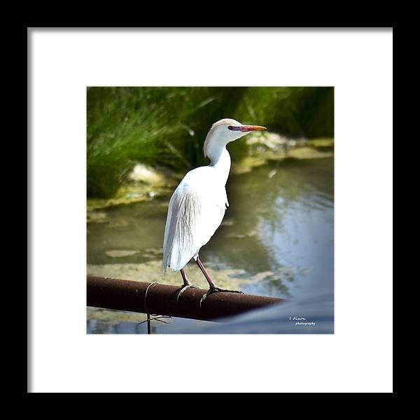 Bird Framed Print featuring the photograph Single Cattle Egret by Teresa Dixon
