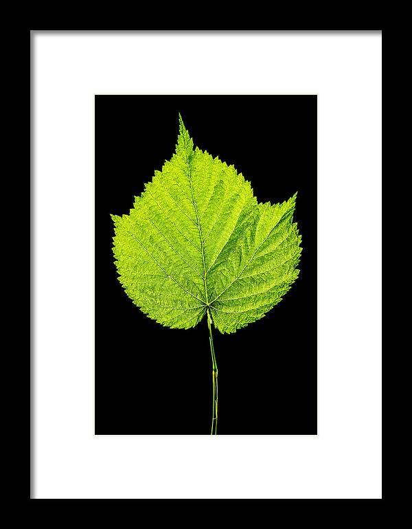 Raspberry Framed Print featuring the photograph Single Leaf From Raspberry Bush by Donald Erickson