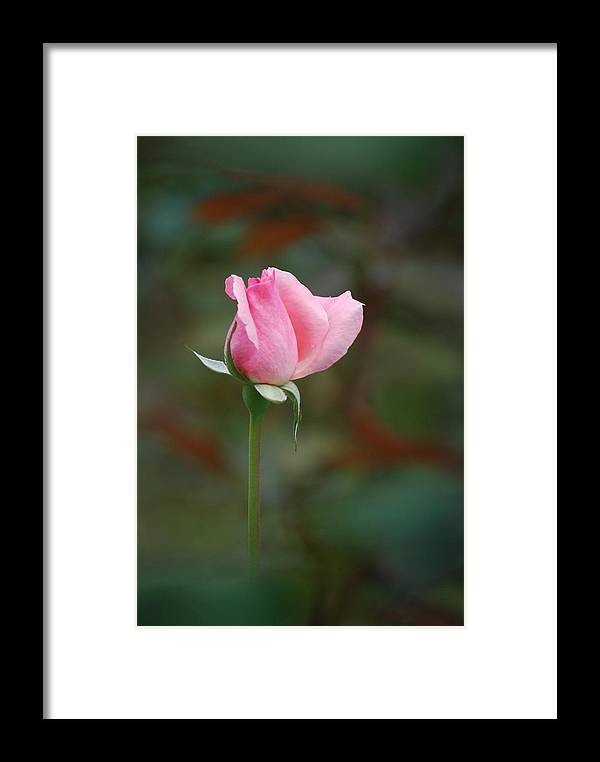 Flower Framed Print featuring the photograph Single Pink Rose by Kathy Gibbons