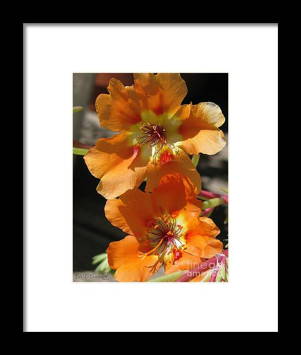 Mccombie Framed Print featuring the painting Single Portulaca by J McCombie