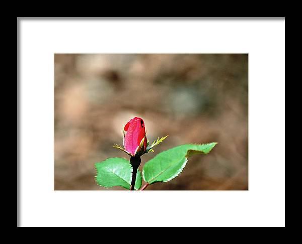 Rose Framed Print featuring the photograph Single Rosebud Abstract by Karen Majkrzak