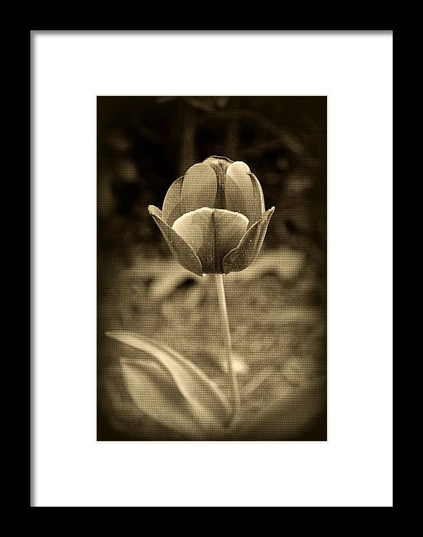 Tulip Framed Print featuring the photograph Single Tulip by Kelly Nowak