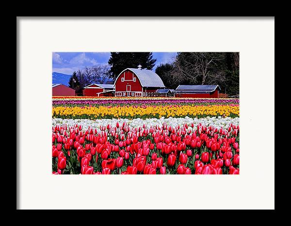 Tulips Framed Print featuring the photograph Skagit Valley by Benjamin Yeager