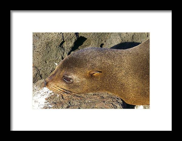 Baby Sealion Framed Print featuring the photograph Sleepy Baby by Allan Morrison