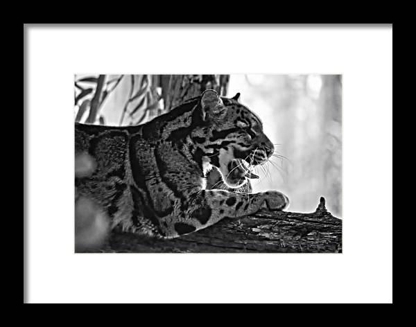 Clouded Leopard Framed Print featuring the photograph Sleepy Girl Bw Version by Steve Harrington