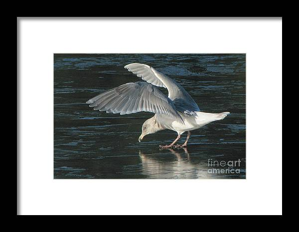 Gull Framed Print featuring the photograph Slippery Path by Frank Townsley