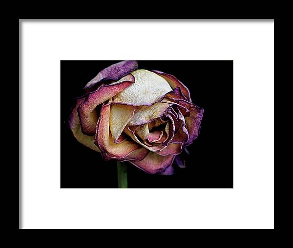 Dried Flower Framed Print featuring the photograph Slow Fade by Rona Black