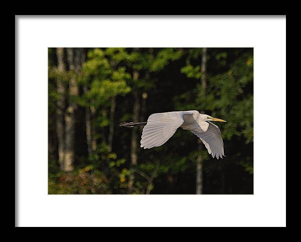 Paul Lyndon Phillips Framed Print featuring the photograph Small Egret Flying - C2730c by Paul Lyndon Phillips