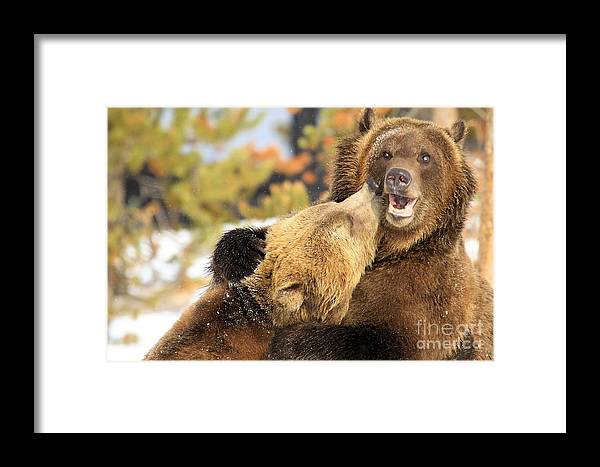 Grizzly Bear Framed Print featuring the photograph Smooch by Adam Jewell