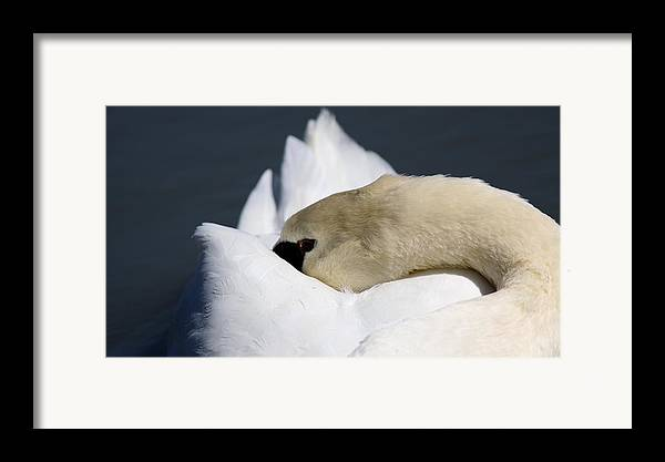 Swan Framed Print featuring the photograph Snoozer - Swan by Travis Truelove