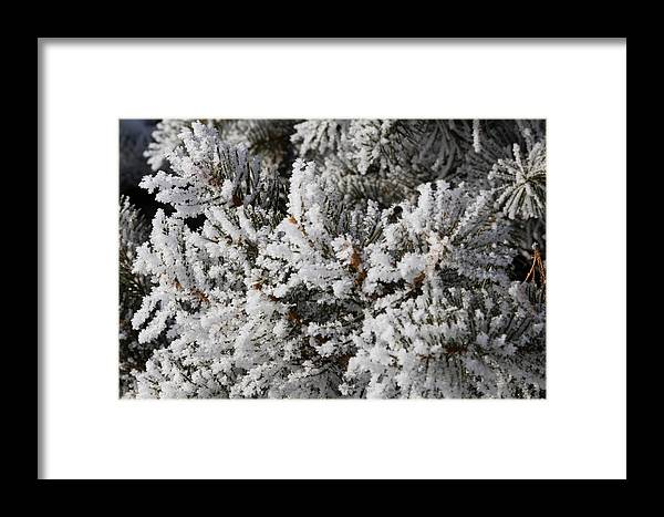 Pine Tree Framed Print featuring the photograph Snow Covered Pine Tree by Sharon Marx