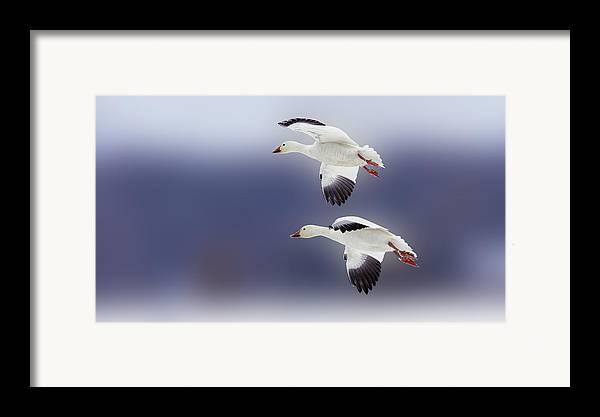 Bird Framed Print featuring the photograph Snow Goose Flight by Bill Tiepelman