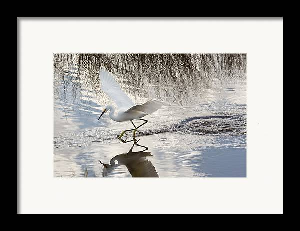 Nature Framed Print featuring the photograph Snowy Egret Gliding Across The Water by John M Bailey