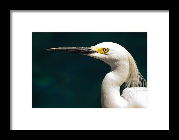 Egret Framed Print featuring the photograph Snowy Egret by Kristia Adams