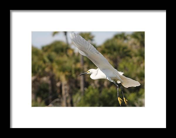Snowy Egret Framed Print featuring the photograph Snowy Egret by Liam Brennan