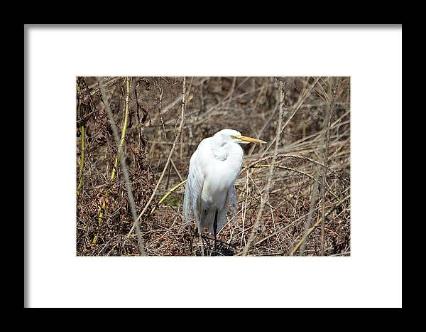 Snowy Egret Framed Print featuring the photograph Snowy Egret On The Marsh by Robert Smice