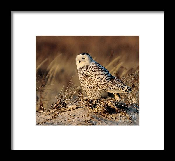 Snowy Owl Framed Print featuring the photograph Snowy by Linda C Johnson