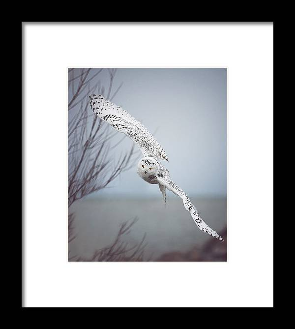 Wildlife Framed Print featuring the photograph Snowy Owl In Flight by Carrie Ann Grippo-Pike