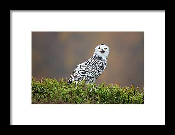 Snowy Owl Framed Print featuring the photograph Snowy Owl by Milan Zygmunt