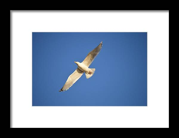 Herring Gull Framed Print featuring the photograph Soaring by Jessica Cruz