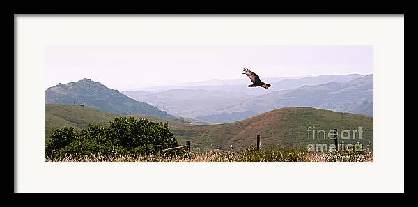Paso Robles Framed Print featuring the photograph Soaring Over California - Condor In Morro Bay Coastal Hills by Artist and Photographer Laura Wrede
