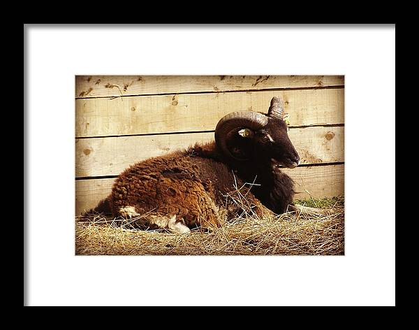 Soay Sheep Framed Print featuring the photograph Soay Ram Reclining by Catherine Ali