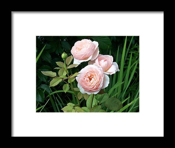 Roses Framed Print featuring the photograph Soft Trio by Catherine Gagne