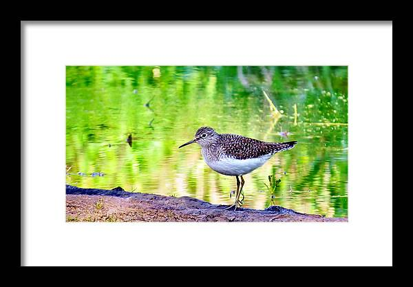 Bird Framed Print featuring the photograph Solitary Sandpiper by Art Dingo