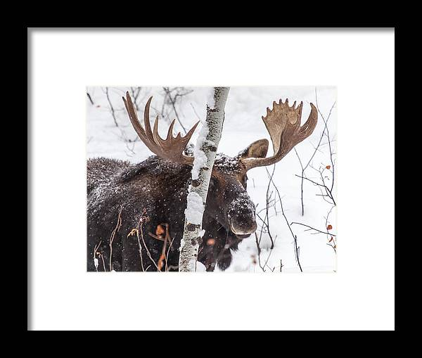 Moose Framed Print featuring the photograph Solstice by Kevin Dietrich