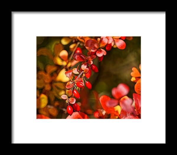 Autumn Color Framed Print featuring the photograph Some Red Berries II by Ronda Broatch