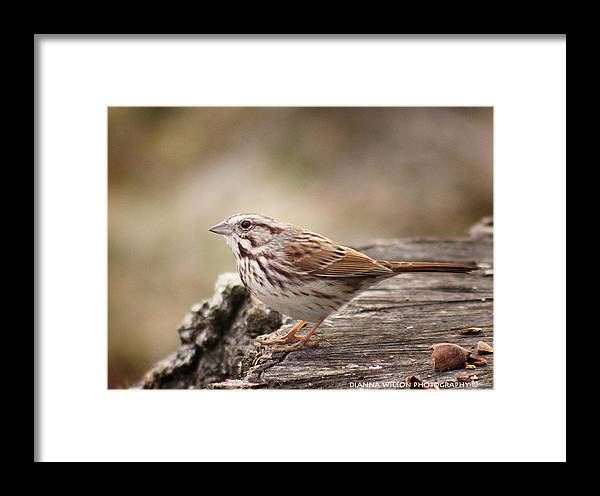 Song Sparrow Framed Print featuring the photograph Song Sparrow On Stump by Dianna Wilson