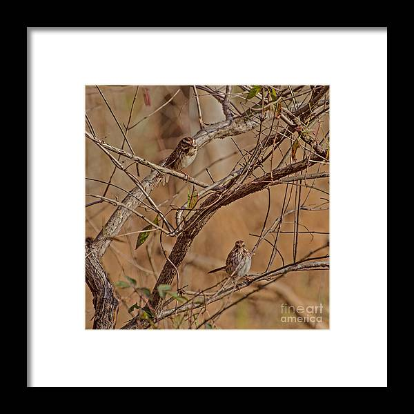Birds Framed Print featuring the photograph Song Sparrows by Donna Brown