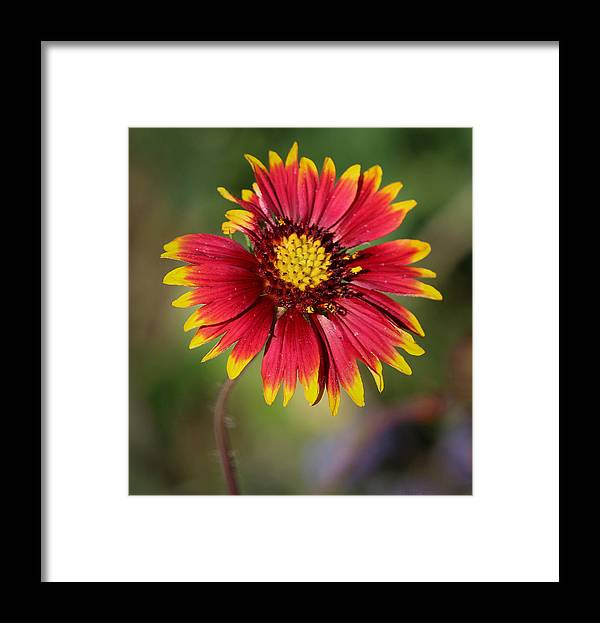 Desert Botanical Garden Framed Print featuring the photograph Sonoran Blanket Flower by Aaron Burrows